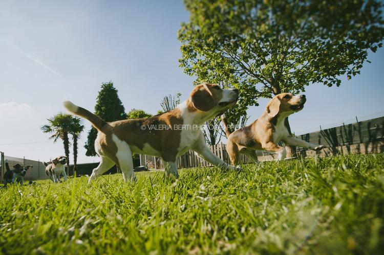 ritratti-con-beagle-003
